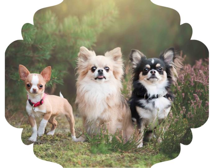 Gang Chihuahua